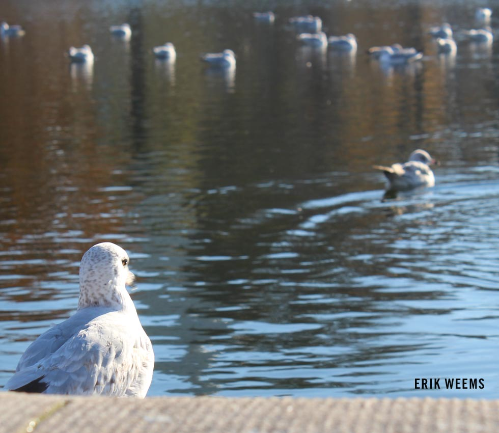 Gull Reflecting Pool